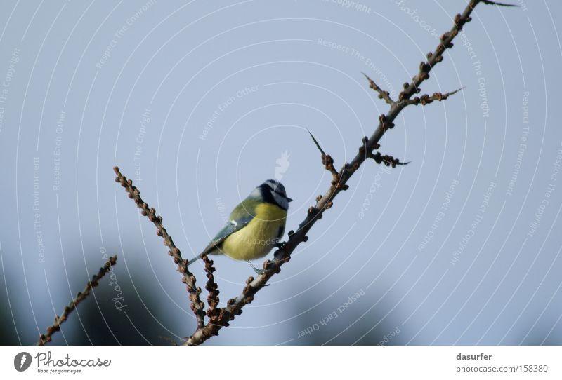 Einsam Natur blau Winter Einsamkeit Tier kalt Herbst Vogel Ast Meisen Blaumeise
