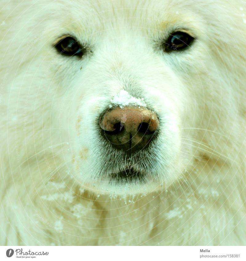 Hund! Schnee Fell weiß Wachsamkeit Konzentration frontal Nase Schnauze Auge direkt Flocke Säugetier Farbfoto Tierporträt Vorderansicht Blick
