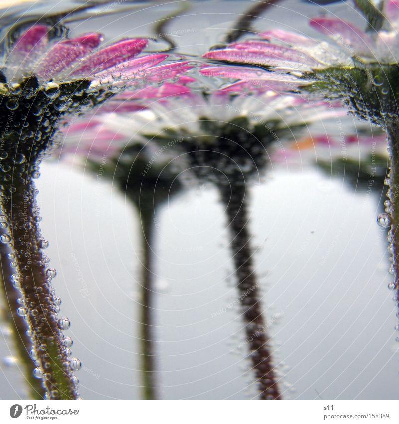 Wasserballet Blume Wiese Unterwasseraufnahme Wasserblase Blubbern rosa weiß Luft Sauerstoff Sommer Makroaufnahme Nahaufnahme Geissenblümchen Stengel