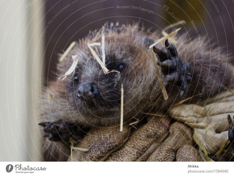 High five Wildtier Igel 1 Tier tragen stachelig entdecken Handschuhe wild strohig hilflos Pfote braun niedlich finden Krallen Nase Farbfoto Außenaufnahme