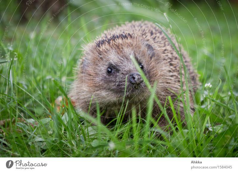 Was los? Wiese Tier Wildtier Igel 1 Neugier niedlich wild braun grün entdecken Schutz stachelig klein begegnen Knopfauge Gebiss hässlich selbstbewußt Farbfoto