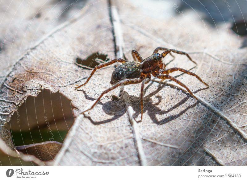 Spider Natur Pflanze Tier Frühling Blume Sträucher Blatt Garten Park Wiese Wald Wildtier Spinne 1 krabbeln Springspinne Farbfoto Gedeckte Farben mehrfarbig