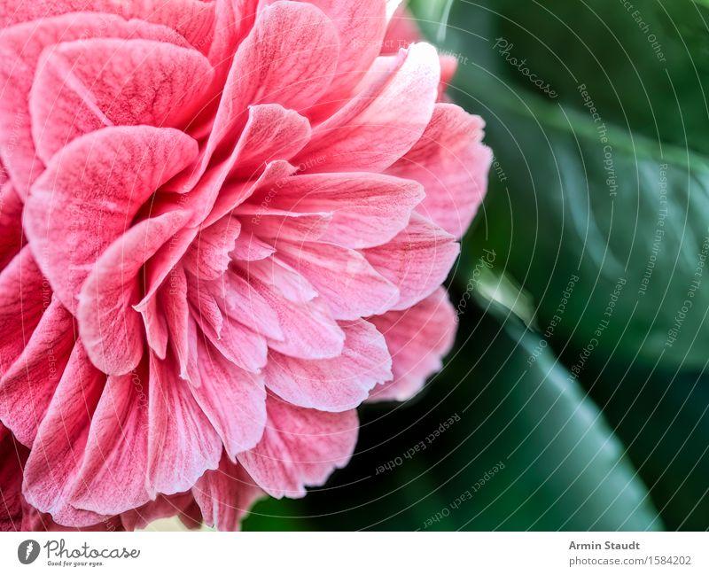 Pfingstrose Natur Pflanze schön Sommer Blume Leben Liebe Gefühle Frühling Blüte Stil Lifestyle Garten Stimmung rosa Design