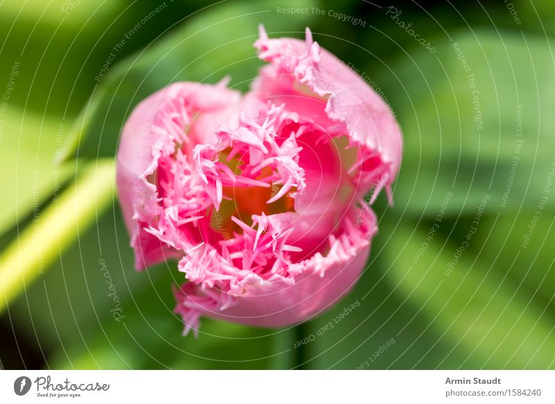 Tulpe von oben Lifestyle Stil Design Natur Pflanze Frühling Sommer Blume Garten Park Wachstum ästhetisch schön Gefühle Stimmung Lebensfreude Frühlingsgefühle