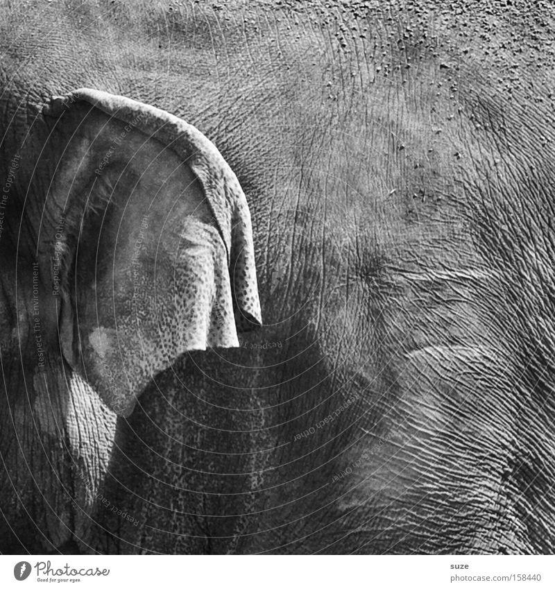 Dickhäuter Tier grau Wildtier Tierhaut Ohr Hautfalten Vertrauen Falte nah hören Säugetier Leder Erfahrung Elefant Elefantenhaut Elefantenohren