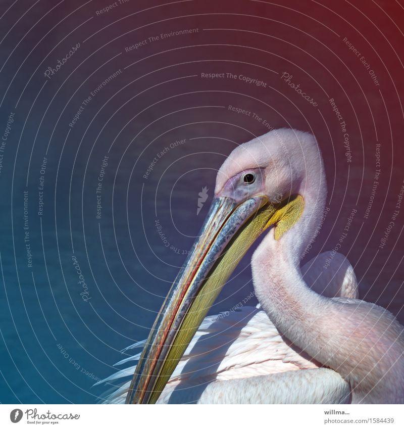Pelikan vor blauem neutralem Hintergrund Wildtier Ruderfüßer Wasservogel Schnabel gelb weiß Tierporträt Textfreiraum Quadrat