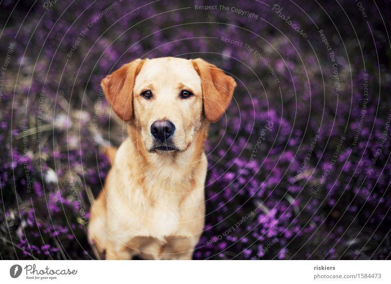 Hundeblick Umwelt Natur Pflanze Wildpflanze Bergheide Wald Tier Haustier beobachten Blick sitzen warten ästhetisch blond Freundlichkeit schön natürlich Neugier