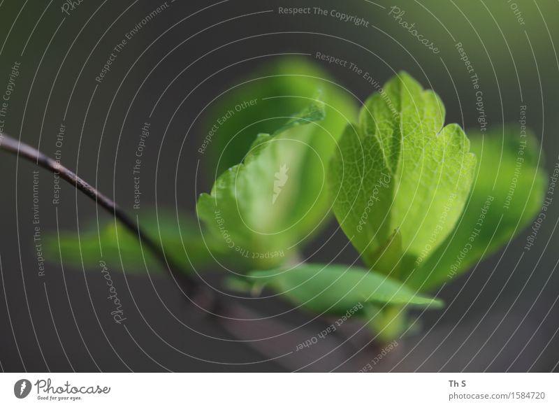Blatt Natur Pflanze grün ruhig Frühling natürlich grau braun frisch elegant Idylle authentisch ästhetisch Blühend einzigartig