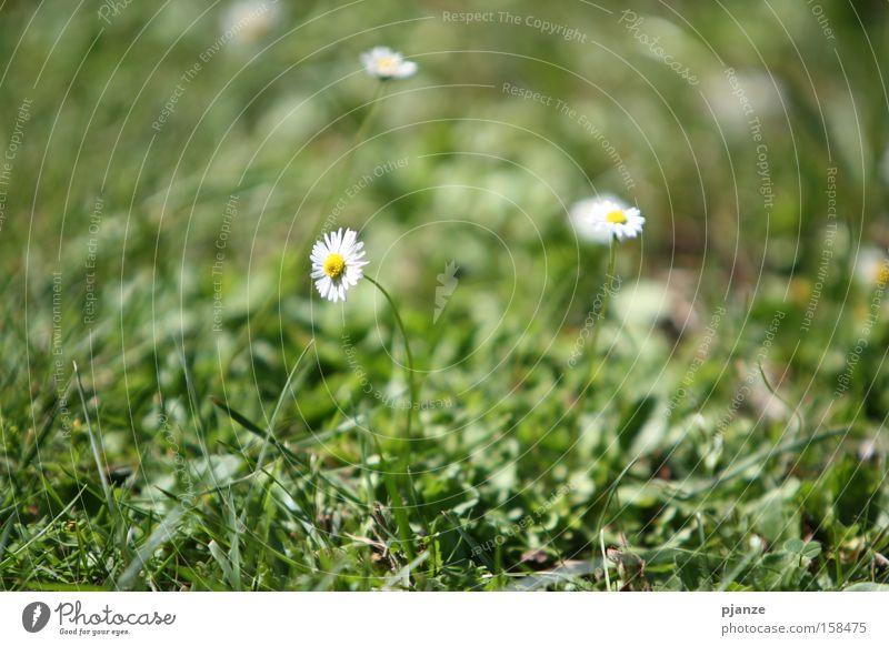 Vorfreude Gras grün Wiese Blume Pflanze Gänseblümchen Blüte Halm Freude Sommer Außenaufnahme Makroaufnahme
