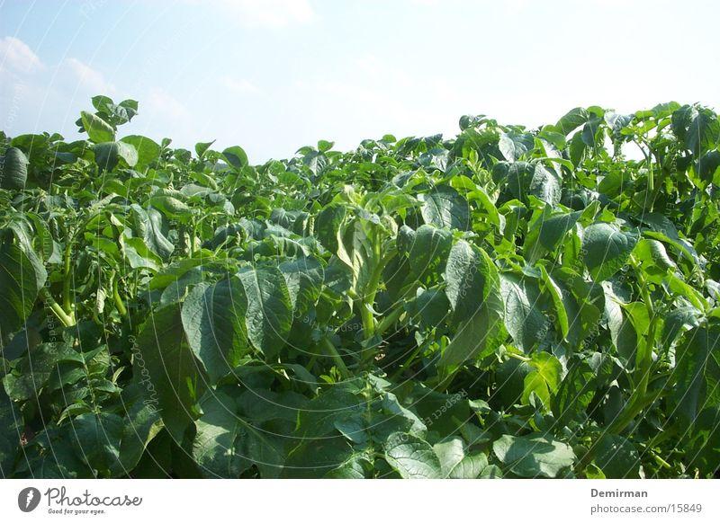 Ein Feld grün Sommer Himmel blau Ackerbau Natur