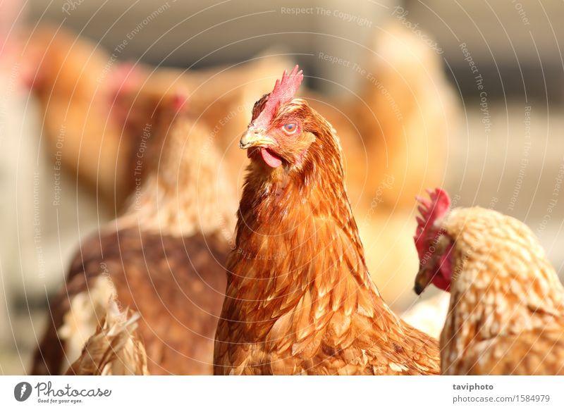 Henne hautnah auf Hof Frau Natur schön Farbe Landschaft rot Tier Erwachsene natürlich Garten braun Vogel Feder Bauernhof Ackerbau Fleisch