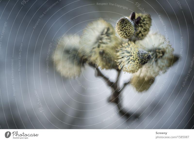 Hello Kitties Natur Pflanze Frühling Wald Blühend Wachstum klein Frühlingsgefühle Blattknospe Weidenkätzchen Ast Farbfoto Außenaufnahme Nahaufnahme