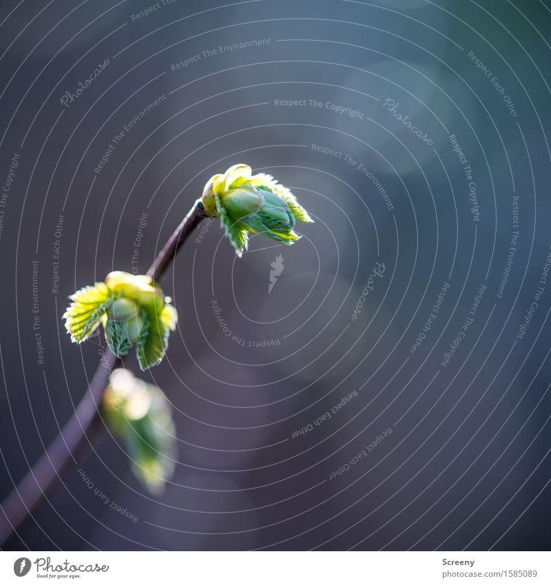 Kopf hoch Natur Pflanze Frühling Schönes Wetter Sträucher Blühend Wachstum klein grün Frühlingsgefühle Blattknospe Farbfoto Außenaufnahme Makroaufnahme