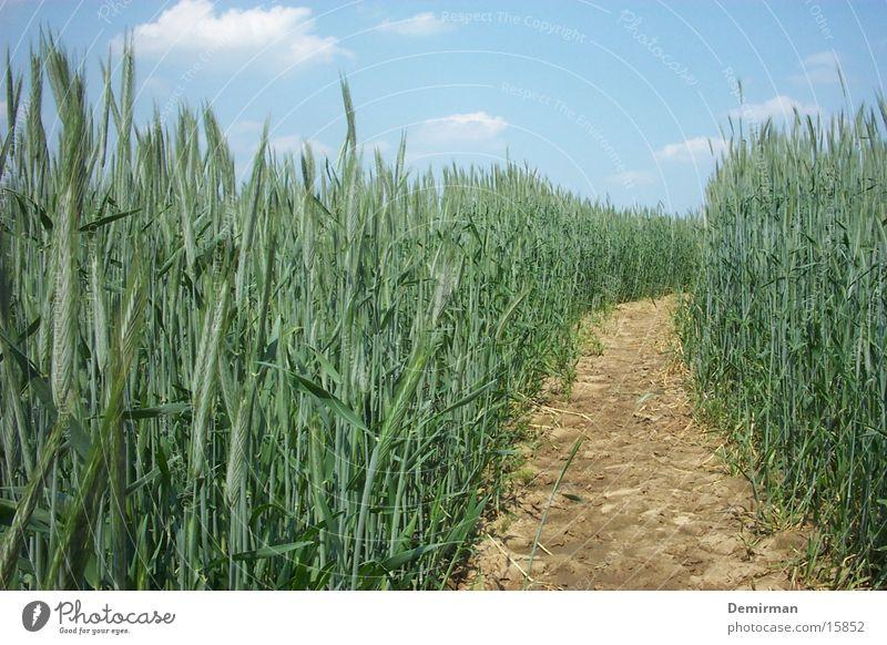 Weizenschneise Wege & Pfade Feld Sträucher Amerika Flur Weizen Schneise