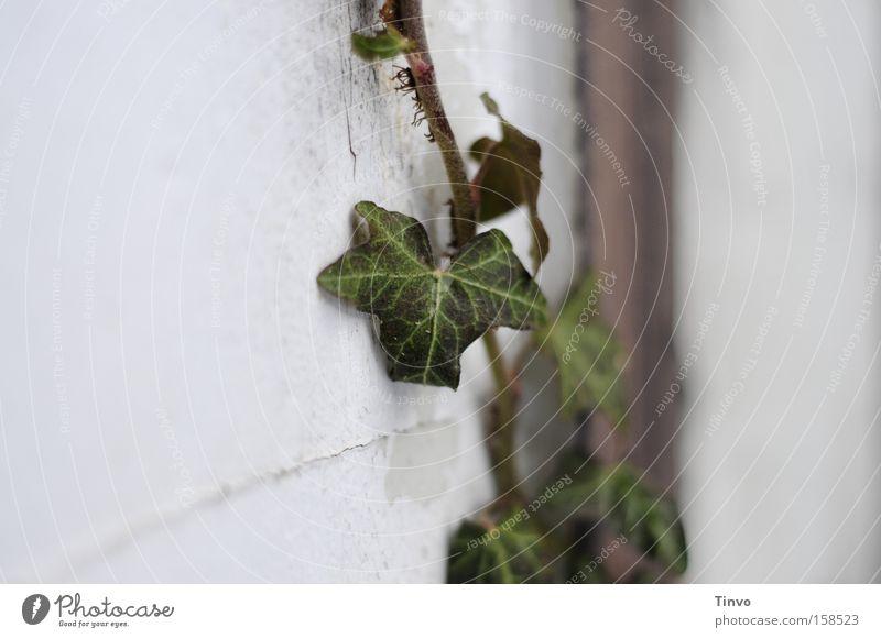 Verbundenheit Blatt kuschlig Verbundenheit Efeu Kletterpflanzen robust Liane Immergrüne Pflanzen