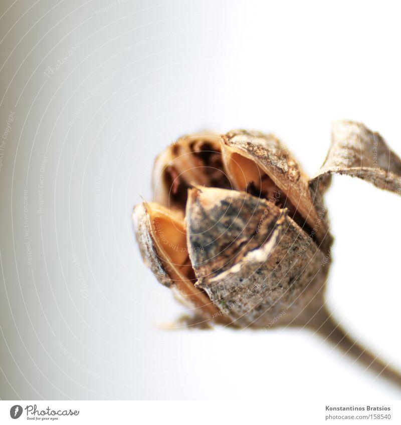 Samenkelch Pflanze Natur sehr wenige Sträucher Blüte Winter Stengel Blütenkelch Kapsel Makroaufnahme Blattknospe Hibiscus Nahaufnahme Park Fortpflanzung
