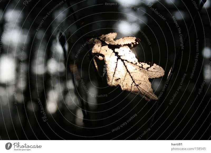 Eichenblatt in der Sonne Natur Baum Winter ruhig Blatt kalt hell Idylle Wintersonne