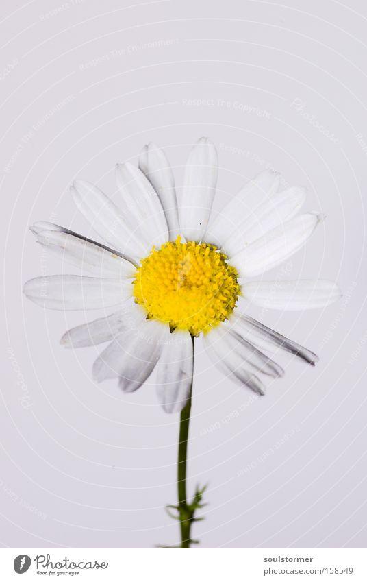 Stock:: /gelbmitweiß Natur weiß Blume gelb Leben Frühling frisch neu Gänseblümchen Stock Kamille Heilpflanzen Unkraut