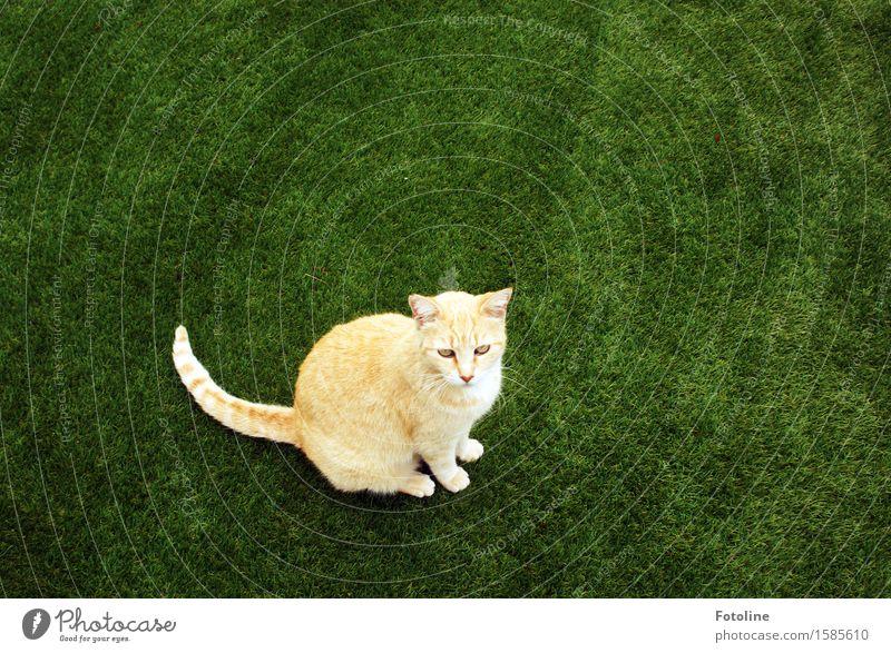 Ups, entdeckt! Umwelt Natur Pflanze Tier Gras Garten Wiese Haustier Katze Tiergesicht Fell 1 frei schön nah natürlich Neugier grün orange sitzen Kunstrasen