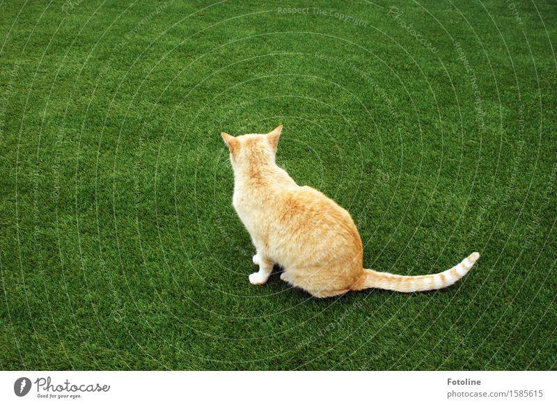 Da bin ich abgeblitzt. Umwelt Natur Pflanze Tier Gras Garten Wiese Haustier Katze Fell 1 frei hell schön nah natürlich grün orange sitzen Kunstrasen Farbfoto