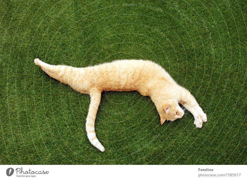 Streeeeeeeck dich!!! Katze Natur Pflanze schön grün Tier Umwelt Wiese natürlich Gras Garten hell orange Park liegen frei
