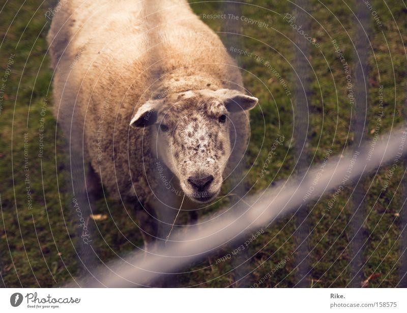 Lasst mich hier raus. Schaf Tier Armut Trauer gefangen Natur Rasen Justizvollzugsanstalt Wolle Verzweiflung Einsamkeit Lamm Säugetier Traurigkeit Amerika