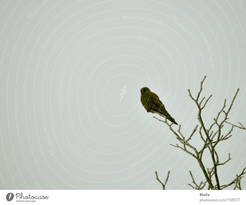 Die Geduld des Falken Baum Erholung Vogel warten sitzen Pause Ast Baumkrone Zweig Geäst hocken Falken Greifvogel Turmfalke