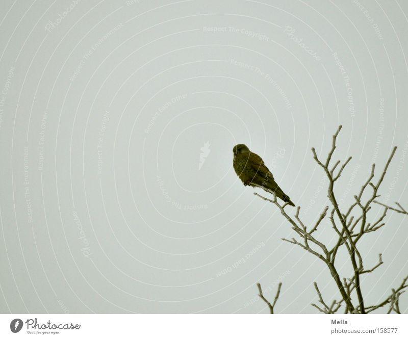 Die Geduld des Falken Erholung Baum Vogel hocken sitzen warten Pause Turmfalke Baumkrone Ast Zweig Geäst Greifvogel Farbfoto Gedeckte Farben Außenaufnahme