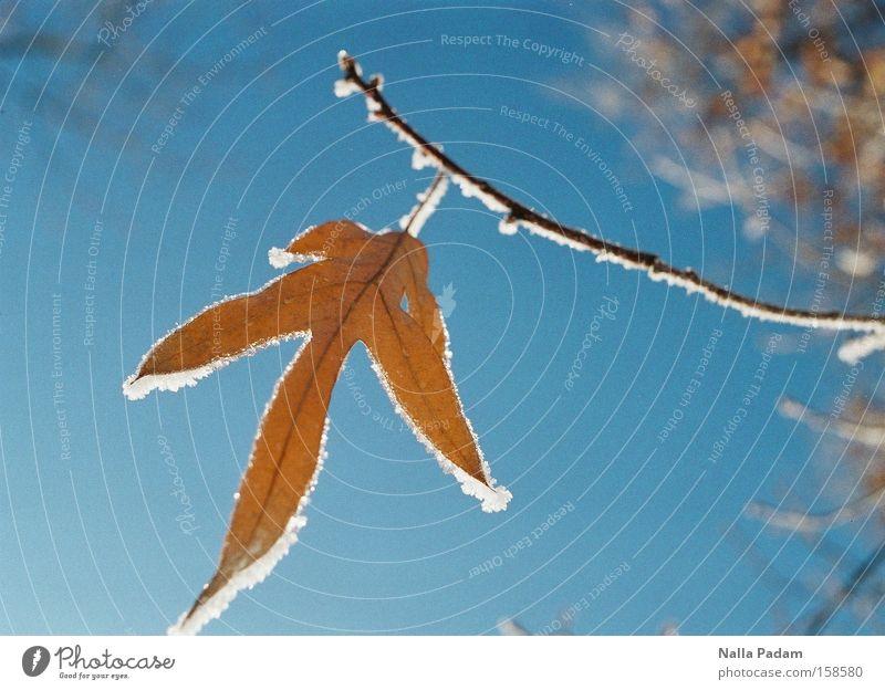 Ein frostiges Blatt Himmel blau Winter Schnee Eis Frost Ast gefroren