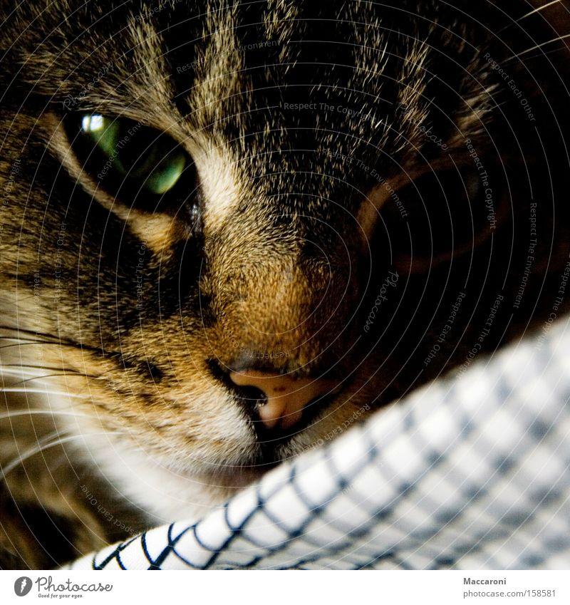 Schau mir in die Augen... Katze grün Erholung Tier Auge genießen süß Nase Fell Jagd Haustier Säugetier kariert kuschlig Sinnesorgane Kuscheln