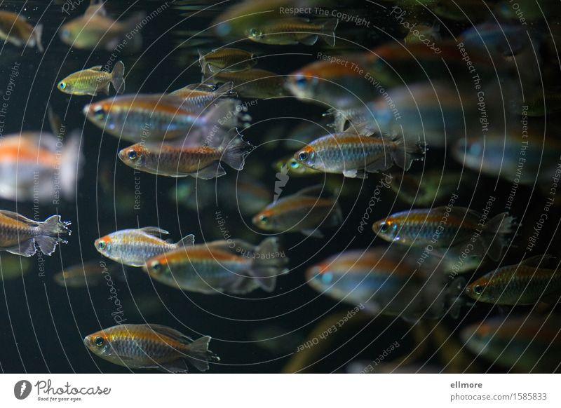 Strom Tier Wasser Fisch Aquarium Tiergruppe Bewegung leuchten Schwimmen & Baden blau gold grau orange silber geduldig ruhig gleich Ordnung Schwarm Richtung