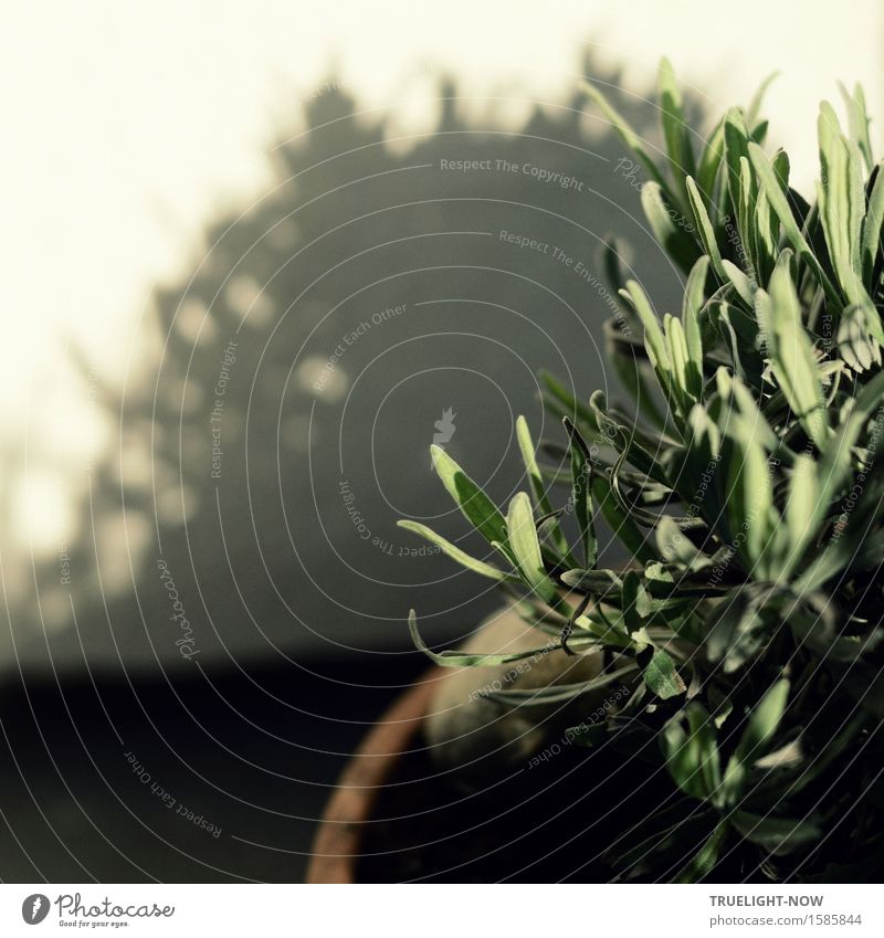 Junger Lavendel in der Morgensonne Natur Pflanze Erde Sonnenlicht Schönes Wetter Sträucher Blatt Grünpflanze Nutzpflanze Topfpflanze Garten Mauer Wand