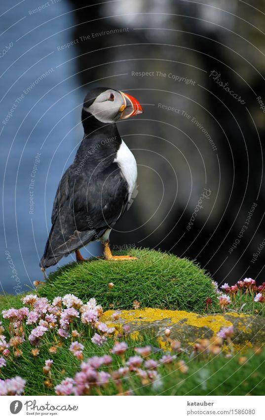 niedlicher papageientaucher Wasser Blume Moos Felsen Küste Schottland Hebriden Tier Wildtier Vogel Papageitaucher Meeresvogel 1 beobachten stehen ästhetisch