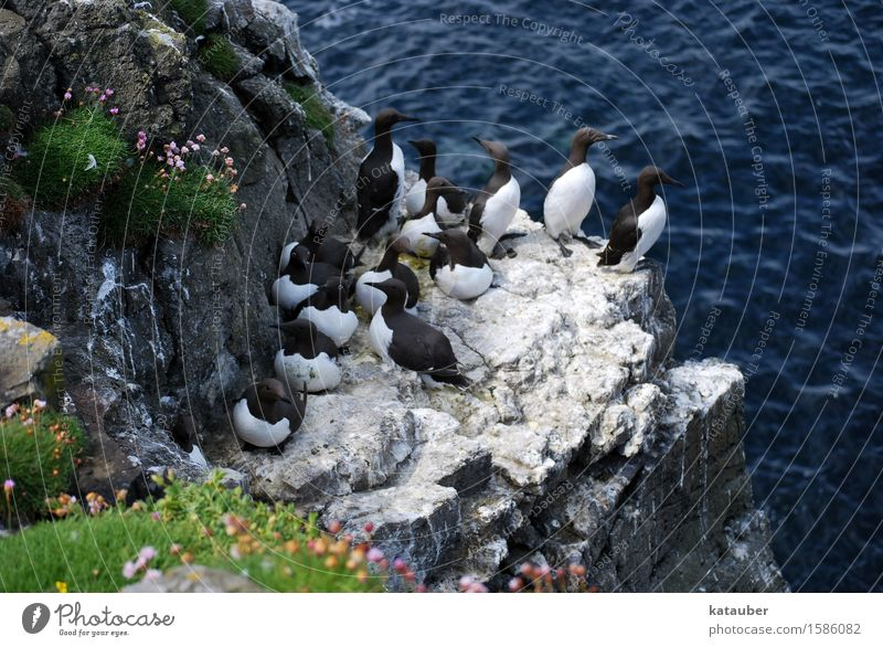 Trottellummen Landschaft Tier Wasser Sommer Felsen Wellen Küste Meer Insel Schottland Hebriden lunga Wildtier Vogel Meeresvogel Tiergruppe sitzen stehen maritim