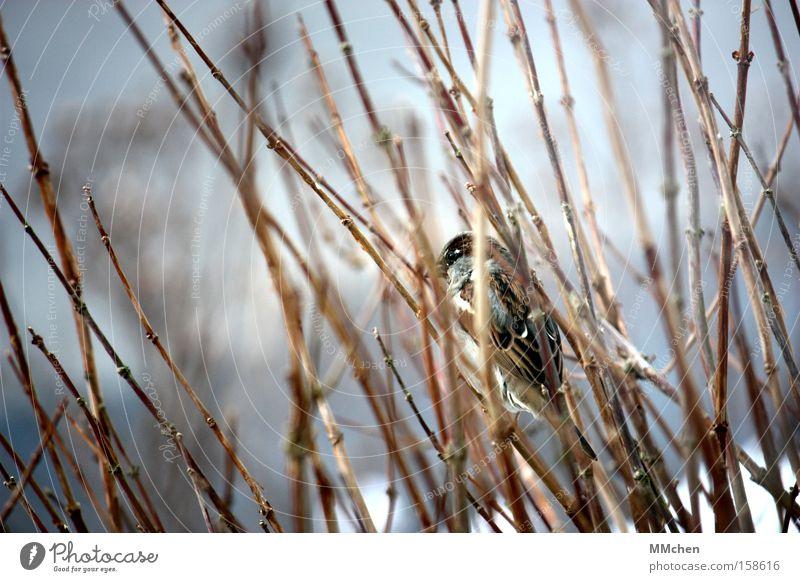 TarnFarben Winter kalt Garten Park Vogel Sträucher Feder Ast verstecken Versteck Spatz Tarnung dezent