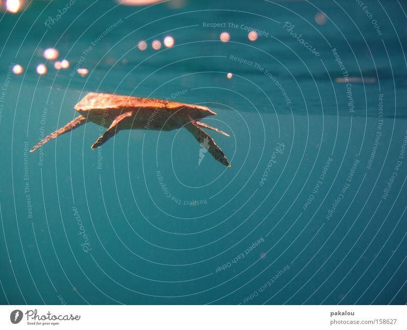 dude is swimmin' away Wasser Meer blau Unterwasseraufnahme nass Reptil Schildkröte Flosse Wasseroberfläche