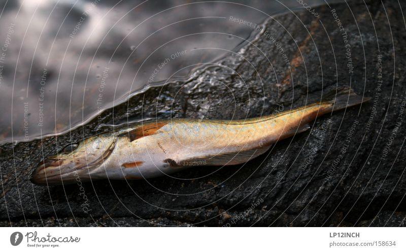 Wirbeltier du bist bewusstlos Wasser Meer Tier Stein Felsen Fisch Angeln gefangen Norwegen Skandinavien Angelköder ohnmächtig