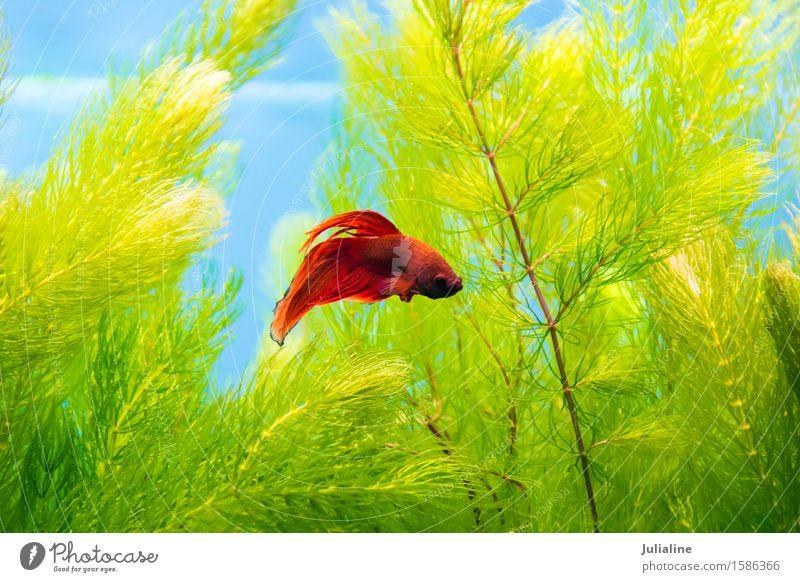 Hahnfische im blauen Wasser Meer Aquarium türkis Fisch Papagei Salz Skalar Apogon Rotfeuerfisch Goldfisch Farbfoto