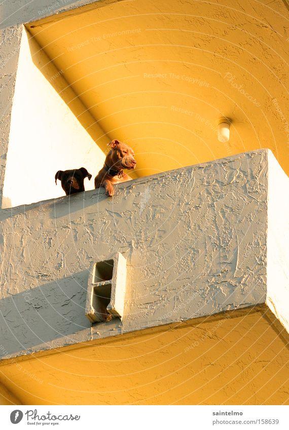Hunde Ghetto Siedlung Stadt Haus Tier gelb Ferne Hund Wohnung Aussicht obskur Balkon Versicherung Säugetier Haustier Kapitalwirtschaft Altersversorgung Tierzucht