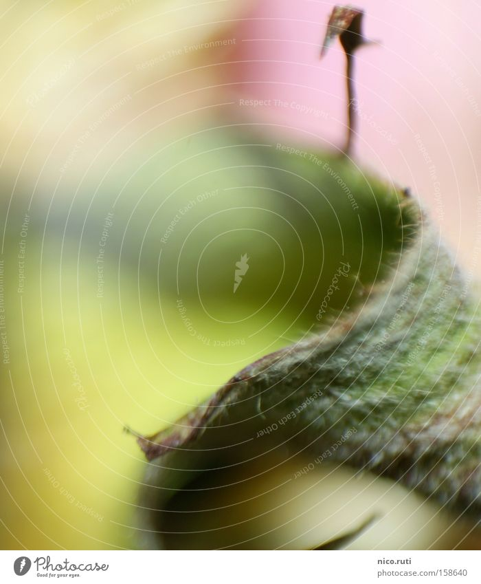 Fusel Blatt grün Rose dünn Flaum Makroaufnahme Unschärfe Nahaufnahme Häärchen Fantasygeschichte welk