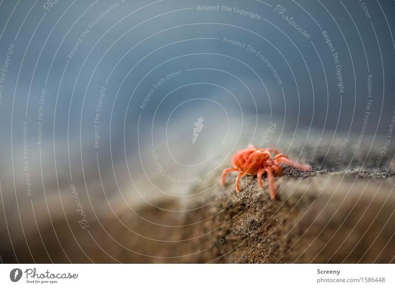 Auf der Mauer, auf der Lauer... Natur Tier Felsen Milbe Insekt 1 krabbeln klein rot Samtmilbe samtig Stein Farbfoto Außenaufnahme Makroaufnahme Menschenleer