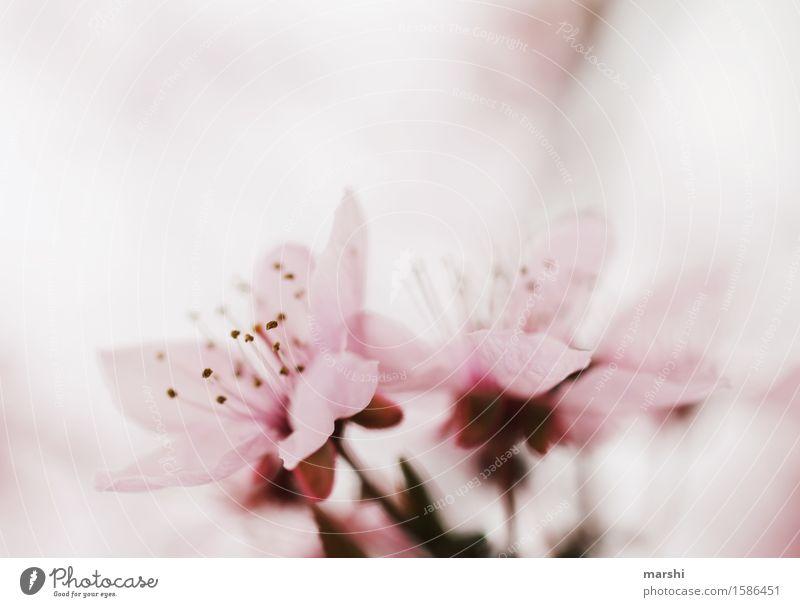 Blutpflaume Natur Pflanze Frühling Baum Blume Blatt Blüte Wildpflanze Stimmung rosa blutpflaume Blütenknospen Blühend Duft zart Kirschblüten Garten Farbfoto
