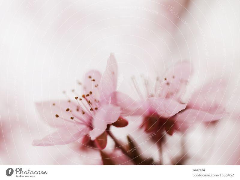 blossom Umwelt Natur Pflanze Frühling Sommer Baum Blatt Blüte Wildpflanze Garten Stimmung rosa zart Blühend Blühende Landschaften Kirsche Kirschblüten Farbfoto