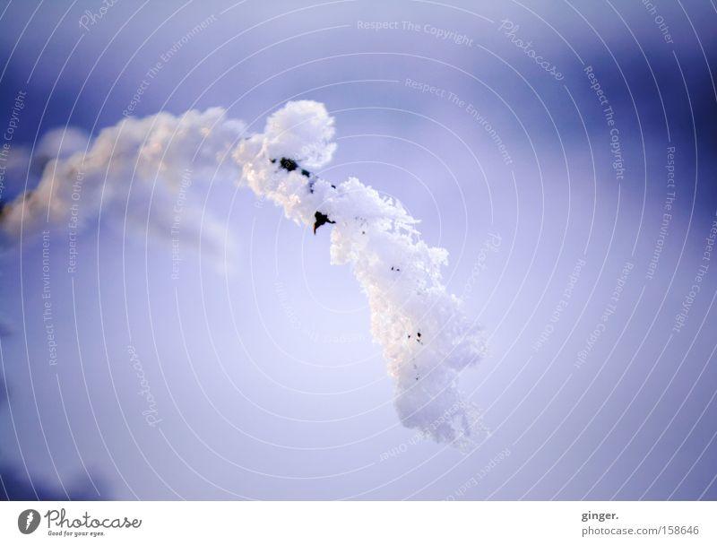 Schneeweißchen - wo ist Rosenrot? Natur blau schön Pflanze Winter kalt Stimmung Eis Klima elegant ästhetisch Sträucher Frost Ast