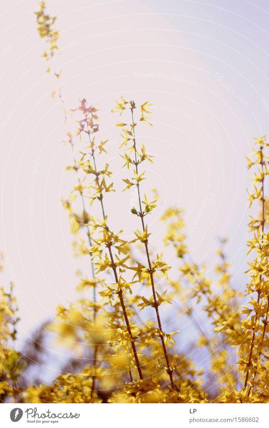 gelblich Umwelt Natur Pflanze Urelemente Frühling Schönes Wetter Blume Blüte Forsithie Forsythienblüte Garten Park einfach Ferne schön Wärme feminin weich
