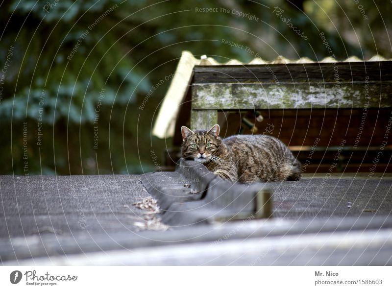 hello kitty Katze ruhig Haus Tier liegen beobachten Dach Gelassenheit Fell Hütte Wachsamkeit Haustier Tiergesicht Hauskatze geduldig Katzenkopf
