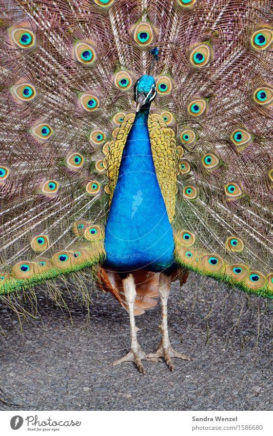 Federvieh Tier Vogel Zoo 1 ästhetisch glänzend blau mehrfarbig Tierliebe schön Präsentation Brunft Pfau Farbfoto Außenaufnahme Menschenleer Textfreiraum unten