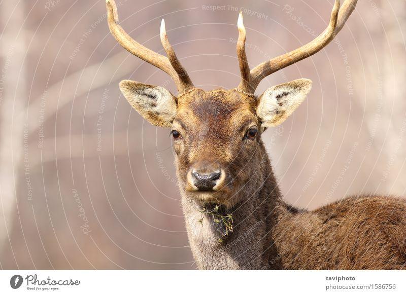 Porträt eines Damhirschhirsches schön Gesicht Jagd Mann Erwachsene Natur Tier Park Wald Pelzmantel groß natürlich wild braun Hirsche Brachland Dama Säugetier