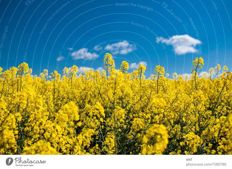 Rapsfeld Umwelt Natur Landschaft Pflanze Himmel Wolken Frühling Schönes Wetter Blüte Nutzpflanze Feld Duft hell nachhaltig natürlich blau gelb weiß
