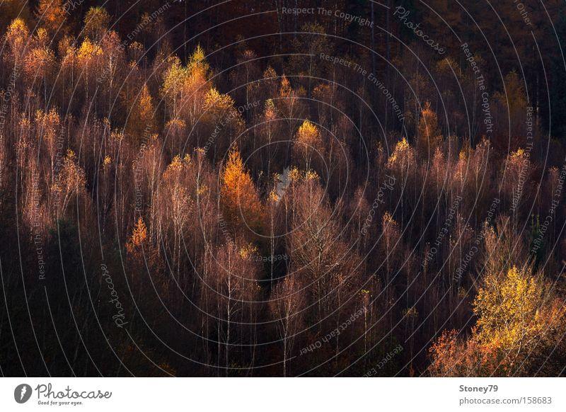 Herbstlicht Natur Baum Pflanze Wald Herbst Landschaft Wärme braun gold leuchten trocken Schönes Wetter diagonal Baumkrone erleuchten herbstlich